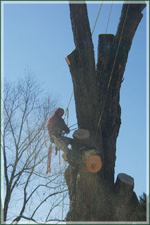 Brian Cooper taking down limbs in a large tree